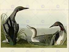 BIRDS AMERICA AUDUBON BLACK THROAT DIVER POSTER PRINT BB12470B