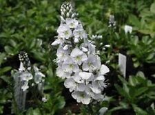 50+ PURE WHITE VERONICA SPEEDWEL) PERENNIAL FLOWER SEEDS  GREAT CUT FLOWER