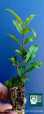 """PUNICA GRANATUM cv """"PARFIANKA"""" alveolino melograno da frutto pomegranate"""