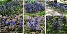 Purple Blue Ajuga Perennial Ground Cover Flowered Plants      Over 25 Seeds