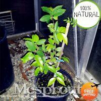 Fruit Jabuticaba Bonsai Seeds Plants Outdoor Tree Succulent Sementes 20pcs