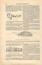 Dents Mammifère Chauve-Souris Chat Chameau éléphant Homme Molaire GRAVURE 1836