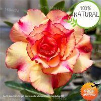 Genuine Desert Rose Seeds Plants Rare Adenium Obesum Flower Bonsai As 4pcs