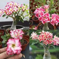 10x Liebhaber Charming Samen seltene Gartenrose Samen DE New