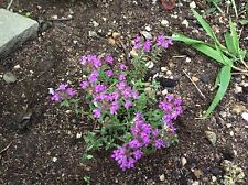 Walk on Me Plant Ground cover plant 1-live rooted plant