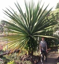 Mediterraner Baum : Yucca aloifolia Palme / winterhart bis -30 Grad / Samen Deko