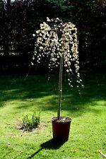 Salix caprea Pendula Hänge-Kätzchenweide Stämmchen 125 cm Stammhöhe Bieneweide