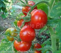 🔥 🍅 AL-KUFFA Tomate früh rot 10 Samen SEHR SELTEN frühe Tomaten Irak Geschenk