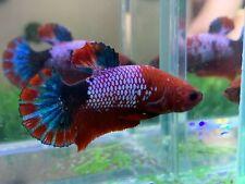 New listing [Ngm - 01072] Live Betta Fish Premium Grade Red Fancy Copper Male