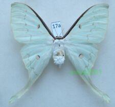 Actias sinensis (Walker, 1855) female ex. pupa Taiwan 97mm17a