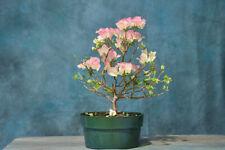 Awesome 'Apple Blossom' Bougainvillea Pre-Bonsai! Unique Blooms Summer - Fall!