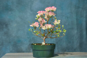 Awesome 'APPLE BLOSSOM'  BOUGAINVILLEA Pre-Bonsai! Unique Blooms Summer - Fall!