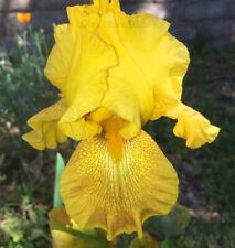 "Tall Bearded Iris Rhizome ""Shaft of Gold"""