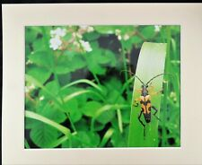 "WASP BEETLE Strangalia maculata 12"" x 10"" photograph in mount"