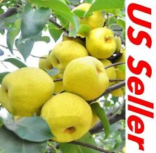 20 PCS Pear Ya Li Bonsai Tree Seeds E39, Home Garden Fruit Tree Seed
