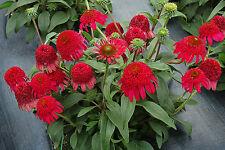 Raspberry Red Echinacea CARA MIA ROSE Coneflower Perennial Plant