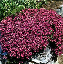 Rock cress 50+ Fresh Seeds Gorgeous Cascading Red Rockcress Free Ship!