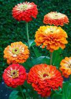 Zinnia- Oriole Mix- 100 Seeds- BOGO 50% off SALE