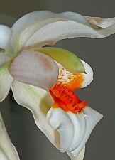 Coelogyne Hybride Orange Fire Lip Duft NEW Orchidee Orchideen