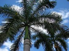 *25 Seeds Roystonia Regia*Royal Palm*free shipping*