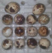 30+ Coturnix Quail Super Fresh Fertile Hatching Eggs