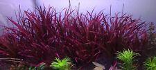 New listing 1 blyxa novoguineensis Plant! Live Aquarium Plants! Free S/h Rare! Beautiful!