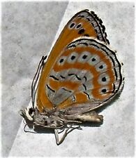 Shimmery Lavender Butterfly Crenis (Asterope) pechuelli Male Folded FAST USA