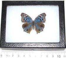 REAL FRAMED BUTTERFLY BLUE PRECIS RHADAMA AFRICA R4