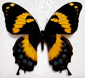 "FANTASTIC REDDISH PAPILIO HOMERUS. FEMALE. ""JAMAICA"". WORLD RARITY !!!!!!!!!!"