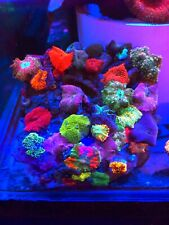 Massive Mushroom Colony WYSIWYG Live Coral Frag - Pop Corals Candy Shop