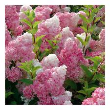 Hydrangea paniculata Vanilla Fraise-Hydrangea Vanilla Fraise Plant in 3.5 '' pot