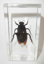 Bamboo Carpenter Bee Xylocopa iridipennis in 73x40x20 mm Block Learning Specimen