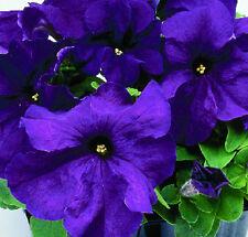 50 Pelleted Seeds Logro Purple Petunia Seeds Large Flowers