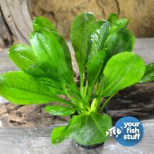 Echinodorus parviflorus Sword Plant Live Aquarium Plants *BUY 1 GET 1 at 50% Off