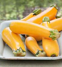 Golden Zucchini - Yellow - 5+ seeds - Heirloom - BEAUTIFUL and FINE!