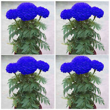 200Pcs Blue Marigold Maidenhair Seeds Garden Perennial Chrysanthemum Flower new