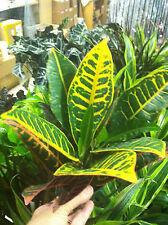 """CROTON - PETRA - LIVE PLANT - 3"""" POT - 1 PLANT - MULTI COLOR"""