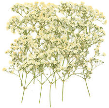 Pressed flowers, white baby's breath 20pcs, gypsophila floral art craft