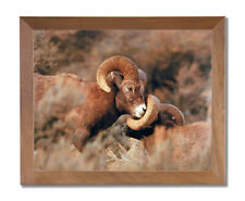 Bighorn Sheep On Mountain Outdoor Wildlife Wall Picture Honey Framed Art Print
