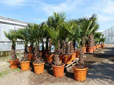320 cm hanfpalme trachycarpus fortunei freilandpalme winterhart bis ca 19 c ebay. Black Bedroom Furniture Sets. Home Design Ideas