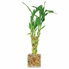 Indoor Bamboo Plant In Bamboo Plants for sale | eBay