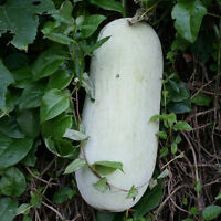 10 Big Wax Gourd Seeds Benincasa Hispida White Gourd Organic Vegetables