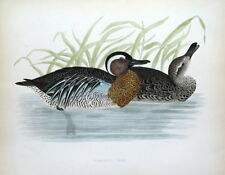 GARGANEY TEAL, DUCK, Beverley Morris original antique bird print 1855