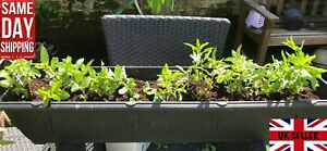 Mint Spearmint (Mentha Spicata). Mojito. Organically grown. Same Day Dispatch