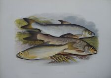 """Fish - Vendace & Gwyniad & Grayling For Houghton'S """"Fresh Water Fishes"""", 1879"""