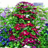 50pcs 24 Colors Mixed Clematis Climbing Plants Seeds Flower Home Garden Decor
