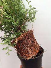 Thuja Brabant-no Emerald 40cm 1Liter Pot grown Quality, Bestseller