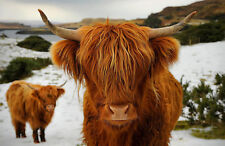 Framed Print - Scottish Highland Cow (Picture Poster Bull Farming Animal Cattle)