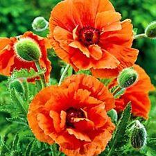 50+ Prince of Orange Papaver Orientale Poppy  Flower Seeds / Perennial