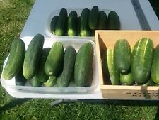 100 Heirloom Straight 8 Cucumber Seeds, 8 inches long, green, sweet and juicy